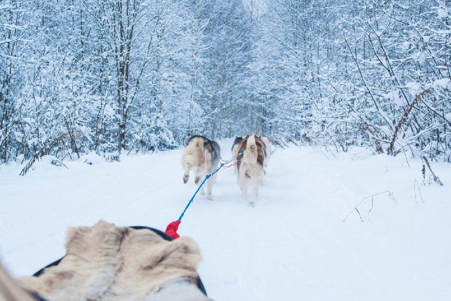 promenade-en-chiens-de-traineau